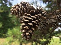 Objeto del pino Cones imágenes de archivo libres de regalías
