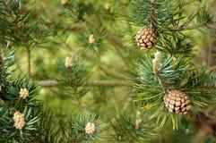 Objeto del pino Cones Fotografía de archivo