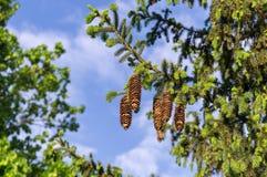 Objeto del pino Cones Fotos de archivo