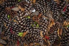 Objeto do pinho Cones Fotos de Stock Royalty Free