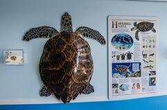 Objeto expuesto de la tortuga de mar - maratón, la Florida Fotografía de archivo libre de regalías