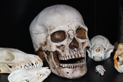 Objeto expuesto del cráneo Imagenes de archivo
