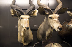 Objetos expuestos de la historia natural en museo Imágenes de archivo libres de regalías