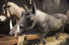 Objets exposés d'histoire naturelle dans le musée Image libre de droits