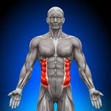 Oblicuo externo - músculos de la anatomía Imagen de archivo libre de regalías