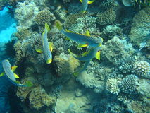 Oblique-banded Sweetlips Stock Images