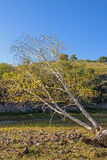 Oblique White Birch in the autumn. This photo was taken in Panlong canyon, Bashang Grassland, Hebei province, china Royalty Free Stock Photo