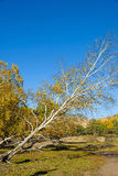 Oblique White Birch in the autumn. This photo was taken in Panlong canyon, Bashang Grassland, Hebei province, china Stock Image