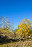 oblique White Birch in the autumn Stock Images
