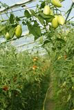 Oblong green tomatoes hanging in hothouse Royalty Free Stock Images