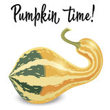 Oblong striped pumpkin isolated on white background. Vector Illustration Stock Photos