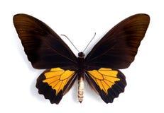 Oblongomaculatus de Troides (macho) Fotos de Stock Royalty Free