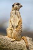 obowiązku meercat Obraz Royalty Free