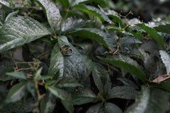 Obrączki ślubne na ciemnozielonym zielonym liścia tle zdjęcia royalty free