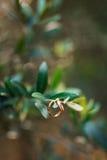 Obrączki ślubne na gałązce oliwnej Zdjęcia Stock
