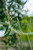 Obrączki ślubne na gałązce oliwnej Zdjęcia Royalty Free