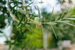 Obrączki ślubne na gałązce oliwnej Zdjęcie Stock