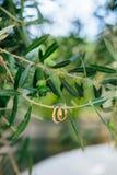 Obrączki ślubne na gałązce oliwnej Fotografia Royalty Free