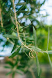Obrączki ślubne na gałązce oliwnej Fotografia Stock