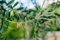 Obrączki ślubne na gałązce oliwnej Obraz Stock