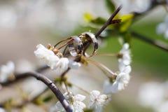 Obrączki ślubne na wiosny kwiatonośnym drzewie Zdjęcia Royalty Free
