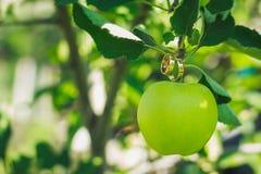 Obrączki ślubne na zielonym jabłku Fotografia Royalty Free