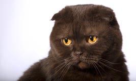Obrażający czekoladowy kot zdjęcia stock