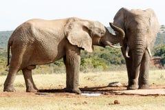 Obraca w górę twój przesłuchanie pomocy - afrykanina Bush słoń Zdjęcia Royalty Free