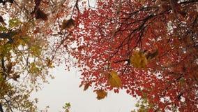 Obracanie, Kolorowy ulistnienie jesień las na wieczór nieba tle zbiory wideo