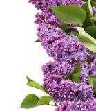 Obramiać purpurowy bez na dobrze Fotografia Royalty Free