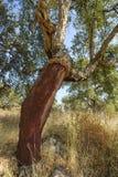Obrany korkowych dębów drzewo Obrazy Stock