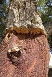 Obrany korkowych dębów drzewo Zdjęcie Royalty Free