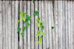 Obrazek, drewniane deseczki roślina, winograd/ Dla tła im Obraz Royalty Free