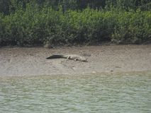 Obrazek krokodyl fotografia stock