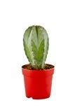 Obrazek mały kaktus w garnku zdjęcia royalty free