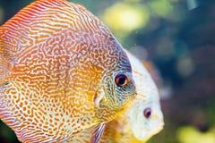 Obrazek piękny egzot ryba pływać podwodny Zdjęcie Stock