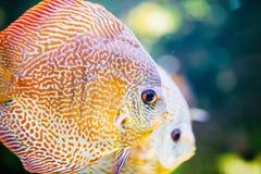 Obrazek piękny egzot ryba pływać podwodny Zdjęcia Stock