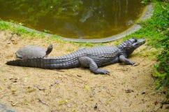Tortoise i krokodyl sunbathing wpólnie zdjęcia stock