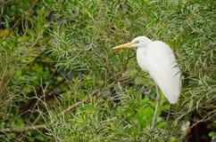 Wielka Biała Egret pozycja na drzewie zdjęcie royalty free