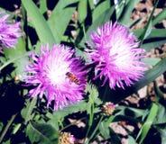 Obrazki kwiaty i pszczoły zakończenie Obraz Stock