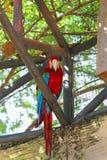 Obrazki piękna barwiona papuga w zoo, Azja Zdjęcie Stock
