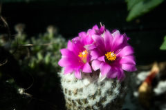 obregonia de fleur de cactus Photos stock