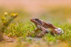 Obrotna żaba w trawie z kwiatami (Rana dalmatina) Obraz Stock