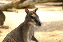 Obrotni wallaby Macropus agilis także znać jako piaskowaty wallaby obraz royalty free