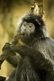 Obrotny Gibbon Fotografia Royalty Free