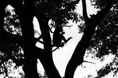 Obrotny Gibbon, jeden ma?e ma?py sw?j rodzaj i jeden arywi?ci w lesie, szybcy i akrobatyczni zdjęcie royalty free