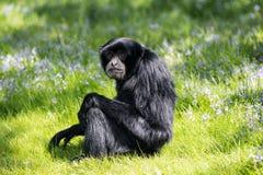 Obrotny Gibbon, jeden ma?e ma?py sw?j rodzaj i jeden arywi?ci w lesie, szybcy i akrobatyczni obrazy royalty free