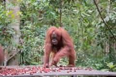 Obrotny orangutan przychodził rambutanom je obiad na x28 & platformie; Kumai, Indon Obraz Royalty Free