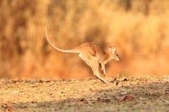 obrotny wallaby zdjęcie stock