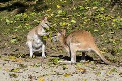 Obrotny wallaby, Macropus agilis także znać jako piaskowaty wallaby zdjęcia royalty free